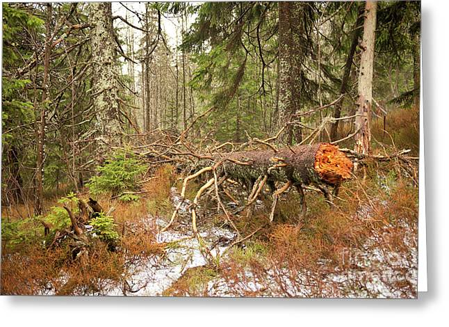 Collapsed Trunk In Babia Gora Greeting Card by Arletta Cwalina