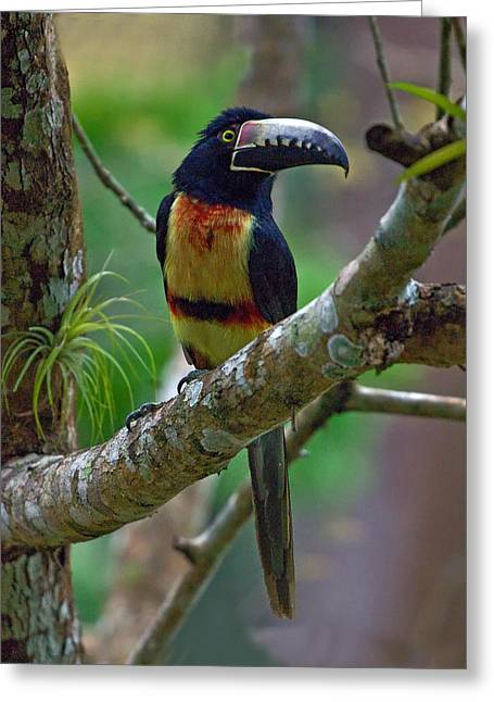 Collar Photographs Greeting Cards - Collared Aracari  Greeting Card by Larry Linton