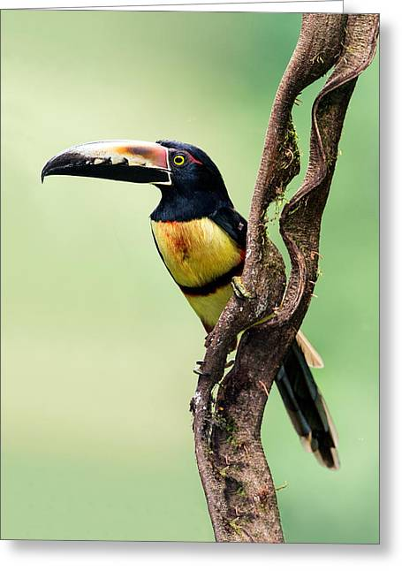 Collar Greeting Cards - Collared Aracari Pteroglossus Greeting Card by Panoramic Images