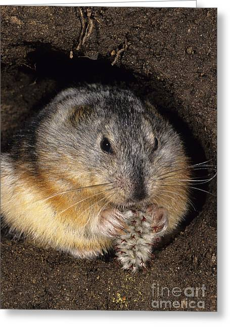 Gnawing Greeting Cards - Collared Lemming Greeting Card by Jean-Louis Klein & Marie-Luce Hubert