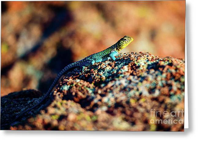 Collared Lizard Greeting Card by Tamyra Ayles