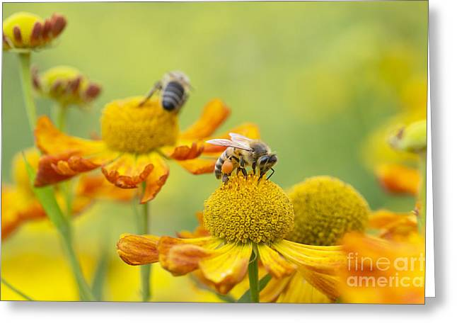 Collecting Nectar Greeting Card by Tim Gainey