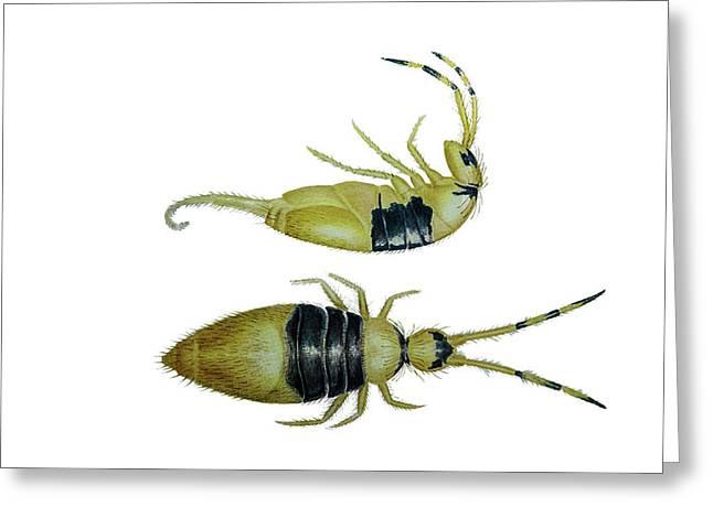 Collembola Entomobrya Clitellaria Greeting Card by Douglas Barnett