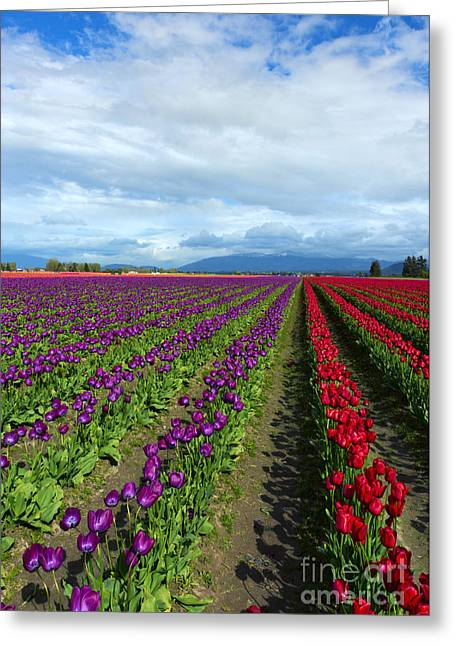 Tulip Fields Greeting Cards - Color within the Lines Greeting Card by Mike Dawson
