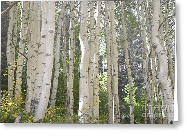 San Juan Prints Greeting Cards - Colorado Aspen Trees Dreamy Woodland Landscape Greeting Card by Andrea Hazel Ihlefeld