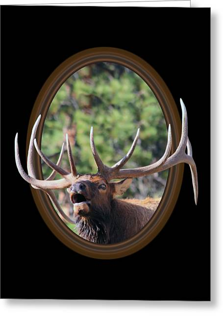 Colorado Bull Elk Greeting Card by Shane Bechler
