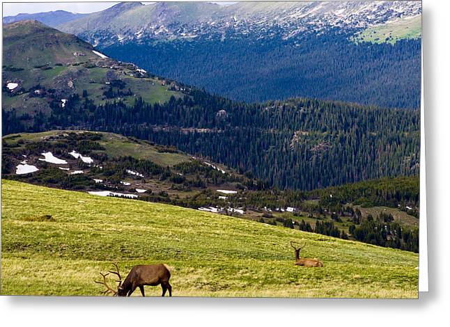 Grazing Snow Greeting Cards - Colorado Elk Greeting Card by Marilyn Hunt