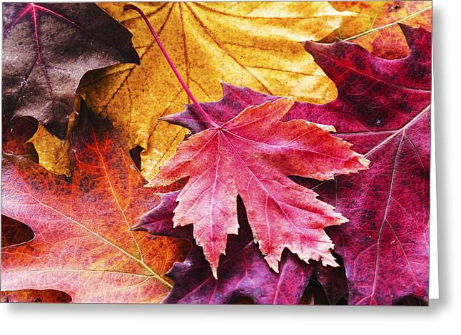 Shades Of Red Greeting Cards - Colorful autumn leaves closeup Greeting Card by Vishwanath Bhat