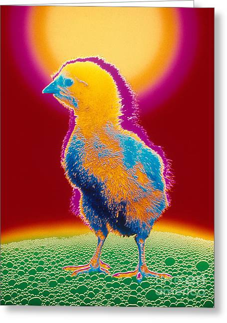 Gallus Gallus Greeting Cards - Colorful Chick Greeting Card by Bill Longcore