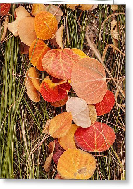 Ground Level Photographs Greeting Cards - Colorful Fallen aspen leaves during autumn Greeting Card by Vishwanath Bhat