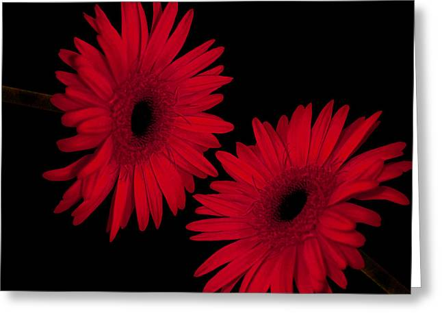 Colorful Gerbera Daisies Greeting Card by Beverly Guilliams