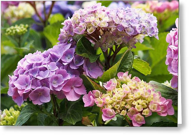 Colorful Hydrangea Blossoms Greeting Card by Rona Black