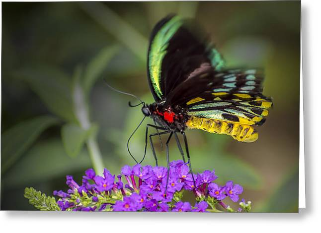 Biology Greeting Cards - Colorful Northern Butterfly Greeting Card by Penny Lisowski