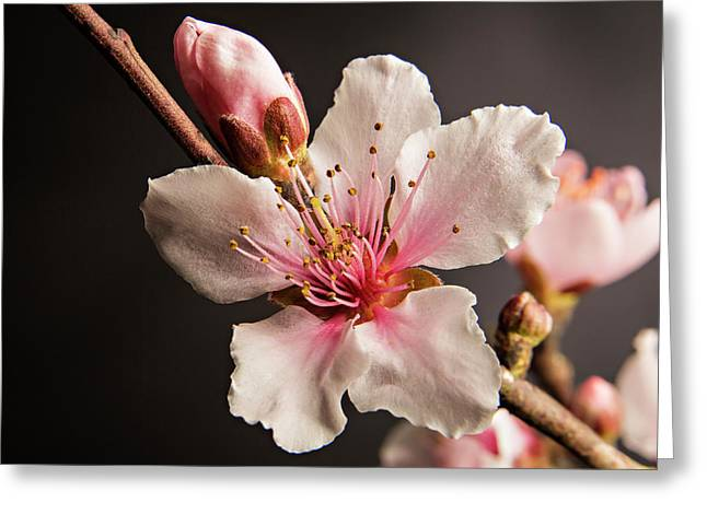 Colorful Peach Blooms 5535.02 Greeting Card by M K  Miller