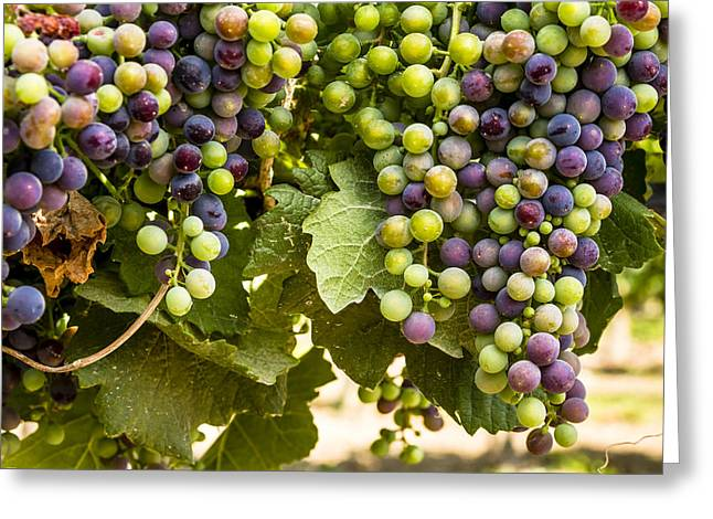 Mountain Valley Greeting Cards - Colorful Red Wine Grape Greeting Card by Teri Virbickis