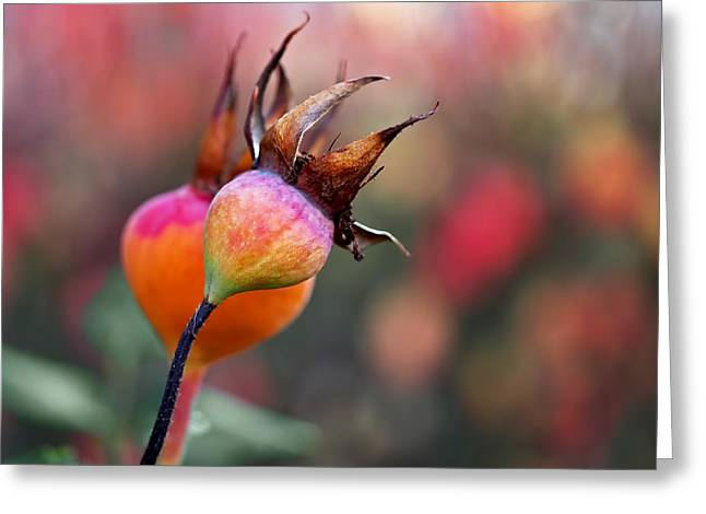 Pink Roses Greeting Cards - Colorful Rose Hips Greeting Card by Rona Black
