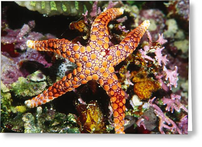 Colorful Seastar Laying On Cean Reef Greeting Card by James Forte