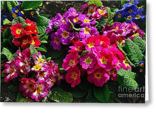 Pink Primroses Greeting Cards - Colorful Spring Primrose by Kaye Menner Greeting Card by Kaye Menner
