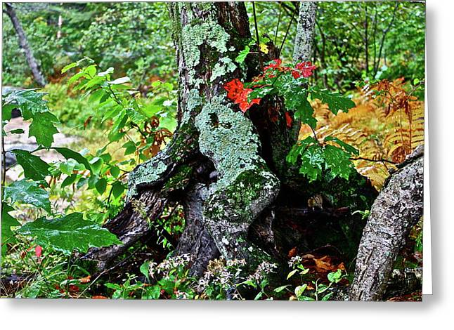 Colorful Stump Greeting Card by Diana Hatcher
