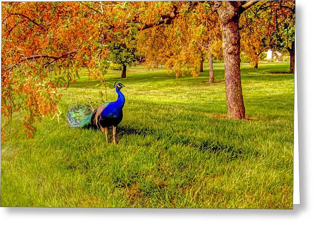 Blue And Green Greeting Cards - Colors of a peacock  Greeting Card by Geraldine Scull