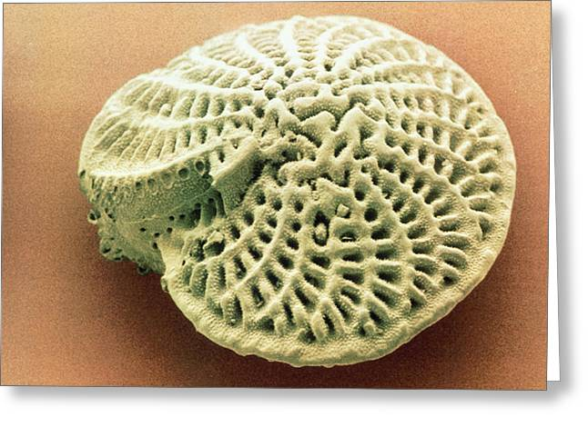Plankton Greeting Cards - Coloured Sem Of Foraminifera Test; Elphidium Sp. Greeting Card by Power And Syred