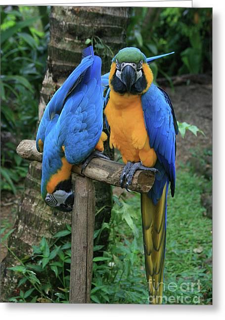 Colourful Macaw Pohakumoa Maui Hawaii Greeting Card by Sharon Mau