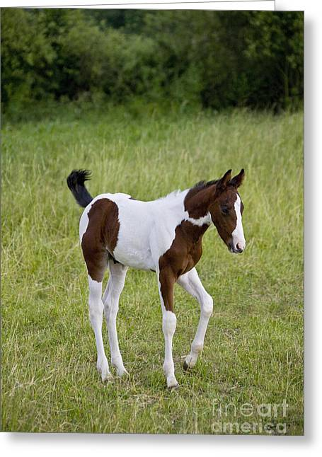 Paint Foal Greeting Cards - Colt In A Meadow Greeting Card by Jean-Louis Klein & Marie-Luce Hubert
