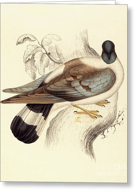 Columba Leuconota, Snow Pigeon Greeting Card by Elizabeth Gould