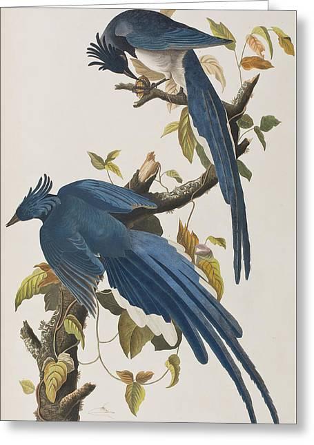 Columbia Jay Greeting Card by John James Audubon