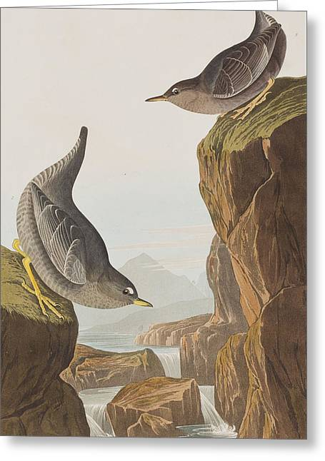 Columbian Water Ouzel Or Arctic Water Ouzel Greeting Card by John James Audubon