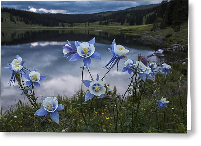 Lake Walden Greeting Cards - Columbine blooms in the Rocky Mountains Greeting Card by Dave Dilli