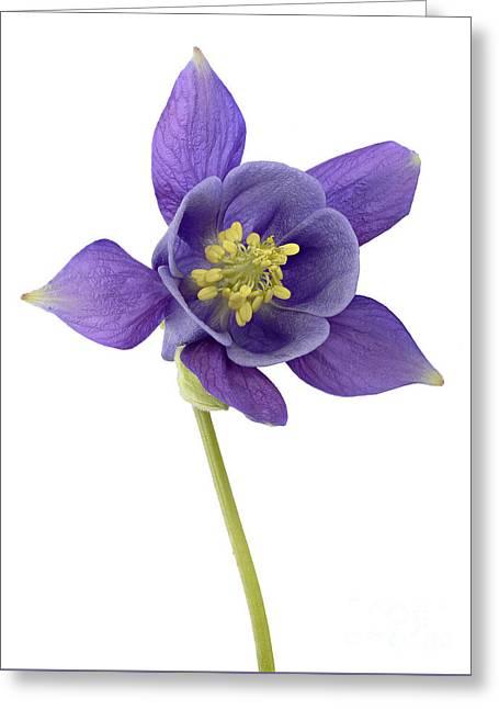 Close Focus Floral Greeting Cards - Columbine Flower Greeting Card by Marv Vandehey