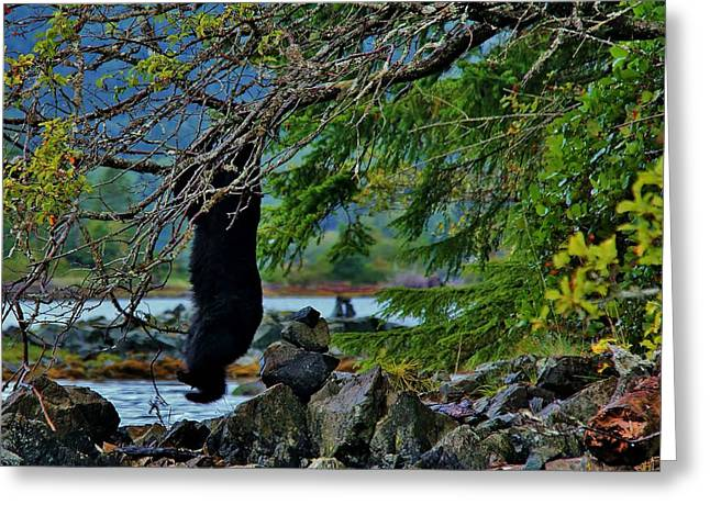 Black Bear Climbing Tree Greeting Cards - Comin Down Greeting Card by Darrell McIntosh