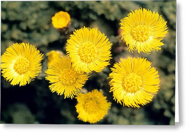 Common Coltsfoot  Greeting Card by American School
