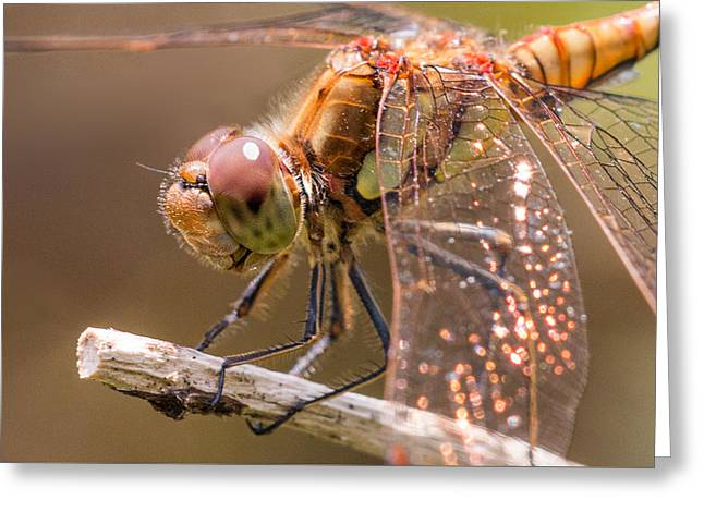 Common Darter Greeting Card by Ian Hufton