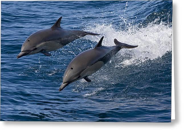 Conformity Greeting Cards - Common Dolphin Pair Jumping Baja Greeting Card by Suzi Eszterhas