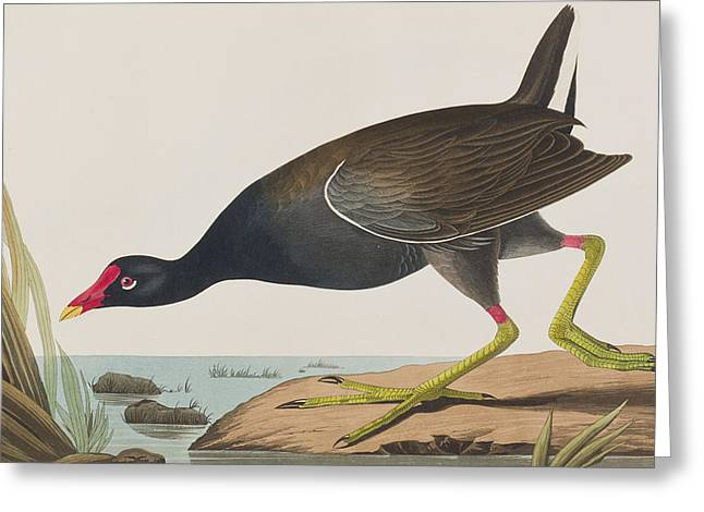 Common Greeting Cards - Common Gallinule Greeting Card by John James Audubon