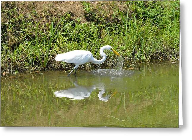 Pelicaniformes Greeting Cards - Common Great Egret Greeting Card by D S Images