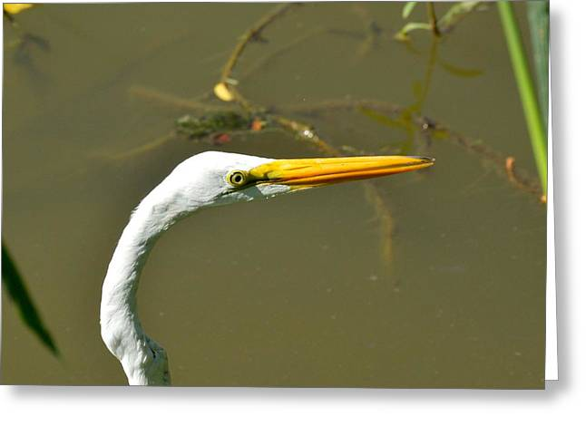Pelicaniformes Greeting Cards - Common Great Egret of Louisiana Greeting Card by D S Images