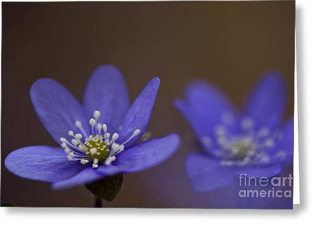 Common Hepatica Flowers Greeting Card by Per-Olov Eriksson