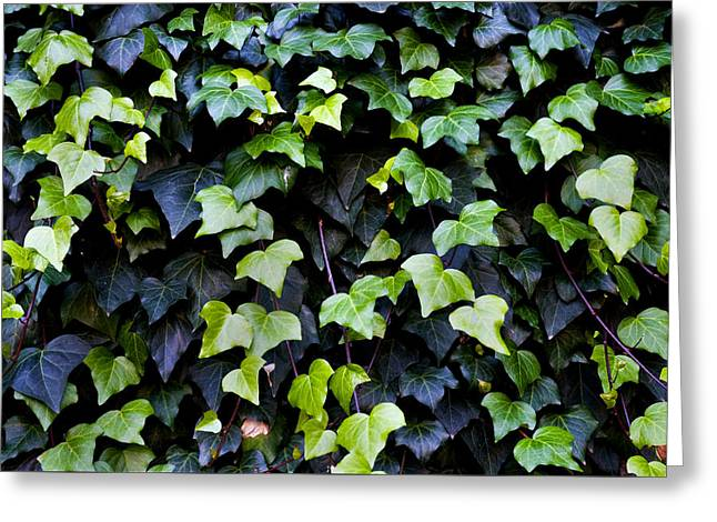 Helix Photographs Greeting Cards - Common ivy Greeting Card by Fabrizio Troiani