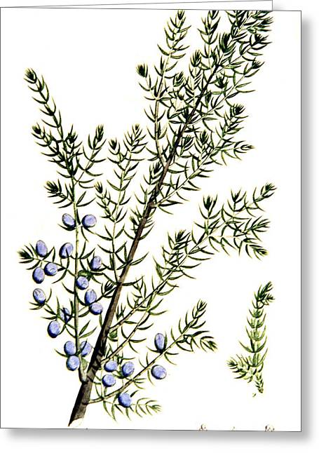 Tract Greeting Cards - Common Juniper Alchemy Plant Greeting Card by Science Source