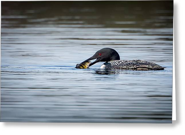 Feeding Birds Greeting Cards - Common Loon Greeting Card by Bill Wakeley