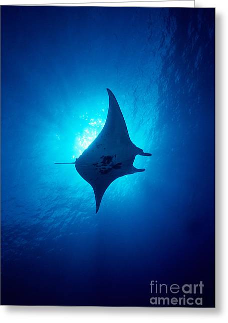 Undersea Art Greeting Cards - Common Manta Ray Greeting Card by Ed Robinson - Printscapes