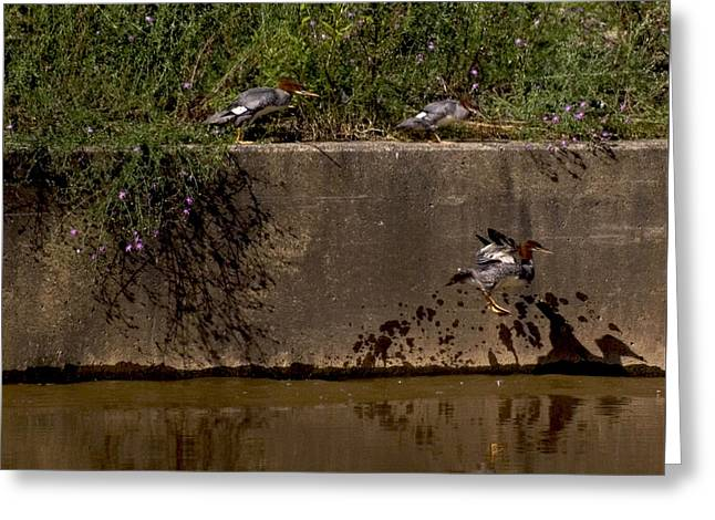 Duke Island Park Greeting Cards - Common Mergansers - Follow the Leader Greeting Card by Warren M Gray