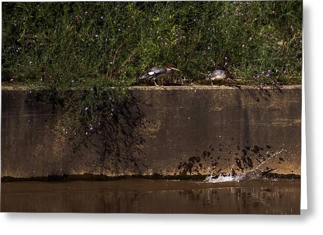 Duke Island Park Greeting Cards - Common Mergansers - Following the Splash Greeting Card by Warren M Gray