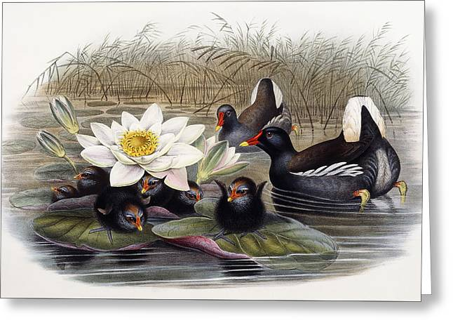 Common Moorhen Greeting Card by John Gould