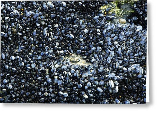 Invertebrates Greeting Cards - Common Mussels Greeting Card by Dr Keith Wheeler