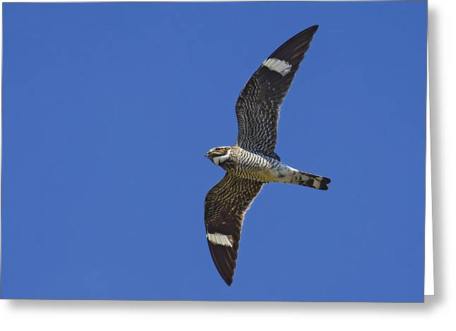 Night Hawk Greeting Cards - Common Nighthawk Greeting Card by Tony Beck