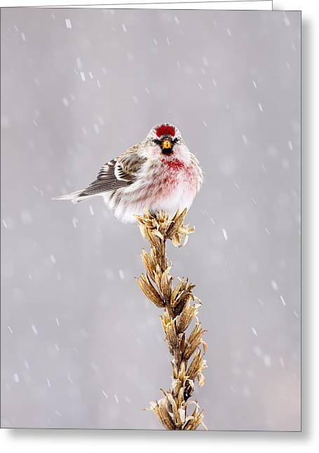 Wildlife Celebration Greeting Cards - Common Redpoll Songbird in the Snow Greeting Card by Birds Only